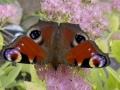 Natalia Semba - Jesienne Motyle